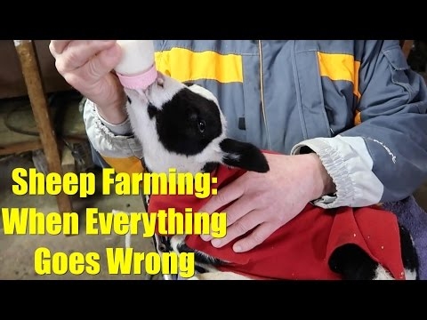 Sheep Farming: When Everything Goes Wrong - Part 1
