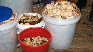 Засолка грибов. Видеокурс. Часть 3  Мытьё грибов после вымачивания
