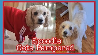 Grooming Spoodle So Well Behaved   Dogs Outfit