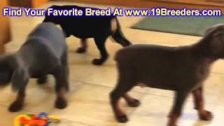 Doberman Pinscher, Puppies, For, Sale, In, Butte Silver Bow, Montana, Mt, Helena, Havre, Kalispell