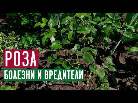 Обработка роз от болезней и вредителей 🌹 Полная видео-инструкция / Садовый гид