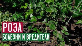 Обробка троянд від хвороб і шкідників   Повна відео-інструкція / Садовий гід