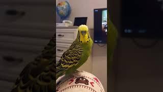 Волнистый попугай Проша разговаривает.