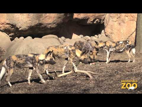 African Painted Dogs and Party for the Planet