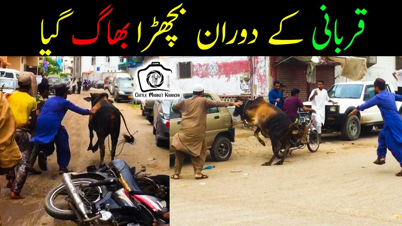 Qurbani Ke Doran Bachra BHAG Gaya | Video by Hassan Pacho | Cattle Market Karachi | Bakra Eid 2021