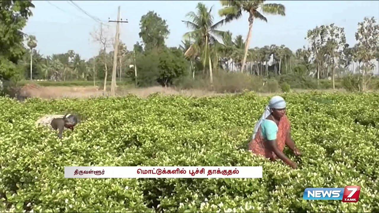 Tiruvallur Jasmine Cultivation Is In A Struggling Phase Tamil Nadu