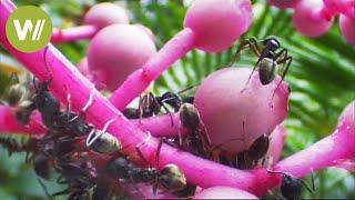 Ameisen - Geheimnis ihrer Kommunikation entschlüsselt
