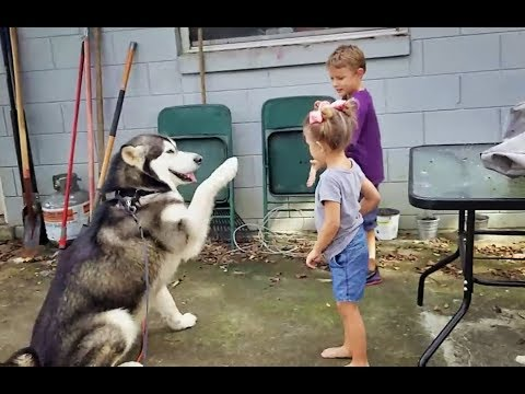 Obedience Training/Test of Malamute -Tonka the Dog!!!!!!