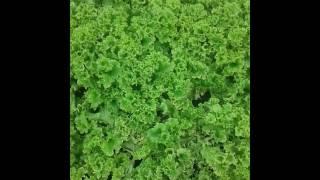 Как выростить салат Осенняя высадка под весну