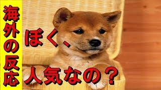 日本犬、柴犬は海外でも人気急上昇中!・・のようですね。 かしこい日本...