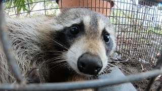 catching a Crazy Raccoon!!! The 3AM BANDIT!!!