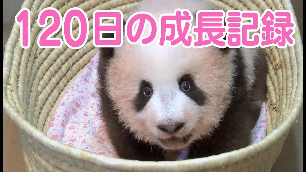 シャンシャン 誕生から120日までの成長記録 上野動物園の赤ちゃんパンダ 香香