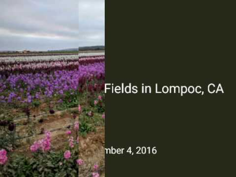 Lompoc Flower Fields in Lompoc, CA: #TravelsWithCeceliaLynnGreenberg:  Santa Barbara County