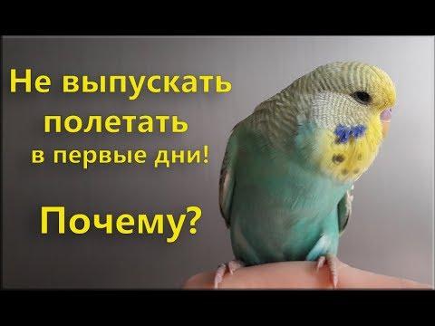 📚 ✉ Почему не стоит выпускать попугая в первые дни летать?