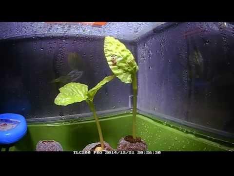 Fast Growing Moonflower Vine  Seedling Timelapse
