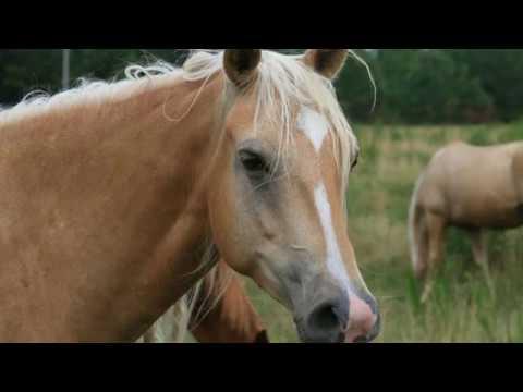 Missouri Fox Trotter - horse breed