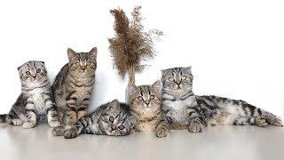 Шотландские котята в 2-3 месяца. Scottish fold and straight babycat 2-3 months.
