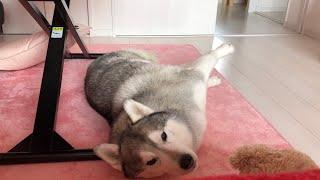 毎日が日曜日 シベリアンハスキー犬の文太です。 ※我が家のフローリング...