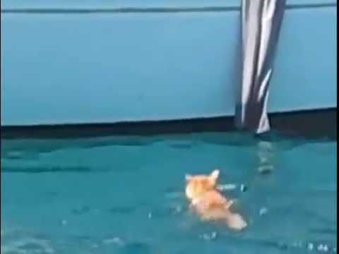 smart cat swims back on boat