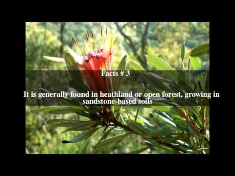 Lambertia formosa Top # 6 Facts