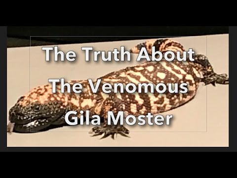THE TRUTH ABOUT THE VENOMOUS GILA MONSTER - ARIZONA-SONORA DESERT MUSEUM