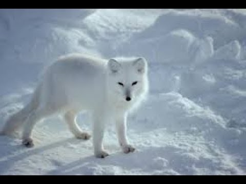 Arctic fox: hunter of the arctic I National Geographic Documentary