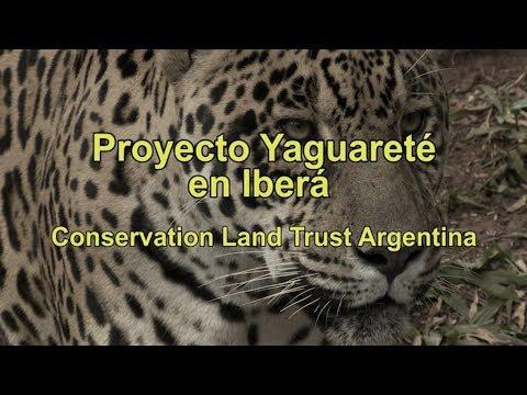 Proyecto Yaguareté en Iberá