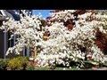 *White Flowering Dogwood Tree* +Cornus florida+Dogwood Nursery+