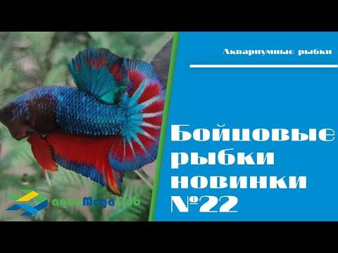 Синие бойцовые рыбки, новинки азиатской селекции