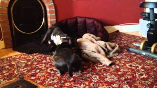 Boston Terrier And Staffordshire Bull Terrier Play Fighting