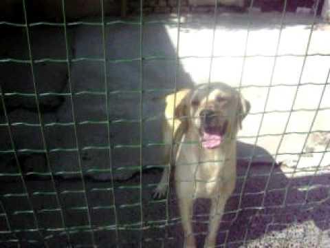 Femelle Labrador Deux Ans A Adopter Spa De Peruwelz Youtube