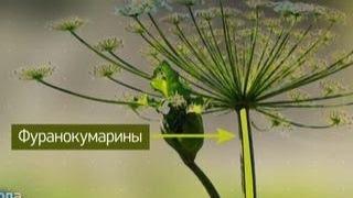 Российские ученые нашли биологическое оружие для борьбы с борщевиком