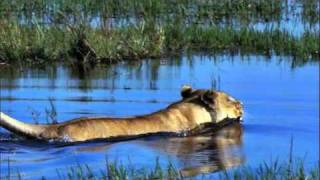 cute baby lion crossing a river with crocodile