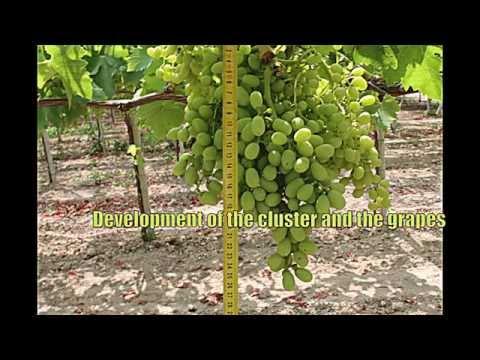Hydro Fert - Table grape fertilizing