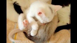 Funny Cat Pusia. 06. Милые котята спят и толкаются рядом с кошкой.