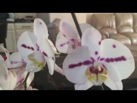 Почему орхидея сбрасывает цветы и бутоны. Мой личный опыт.