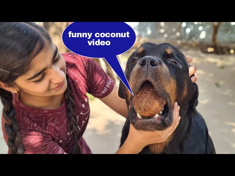 My dog steals anshu's coconut||funny dog videos||rottweiler dog.