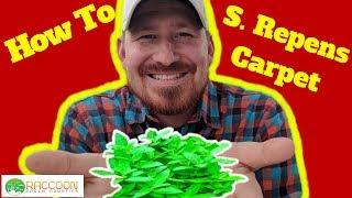 How to: Grow an S. Repens Carpet | Staurogyne Repens