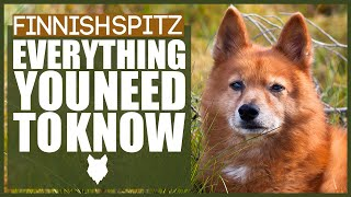 FINNISH SPITZ 101! Everything You Need To Know About the Finnish Spitz