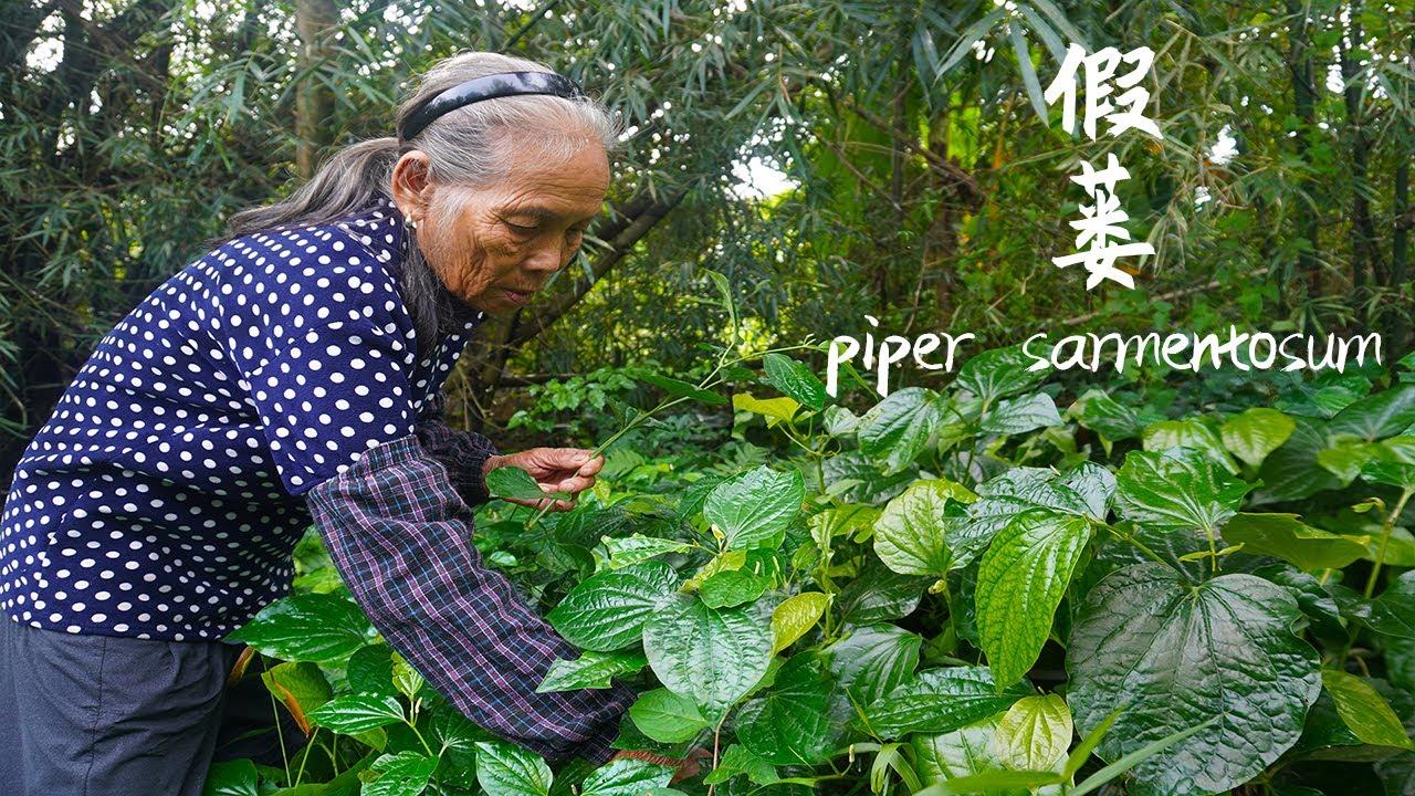 "Download 比紫蘇還香的""假蔞"",不僅美味香濃,還是健康驅寒的寶Medicinal and food ingredients, Guangxi grandmother used to make food|玉林阿婆"