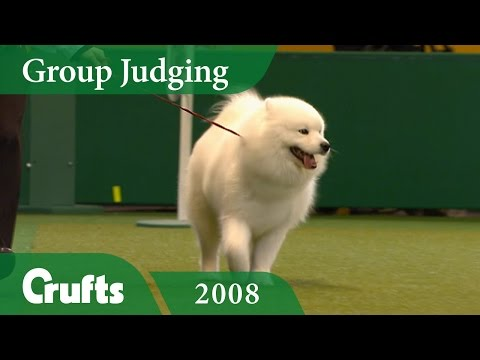 Samoyed win Pastoral Group Judging at Crufts 2008 | Crufts Dog Show