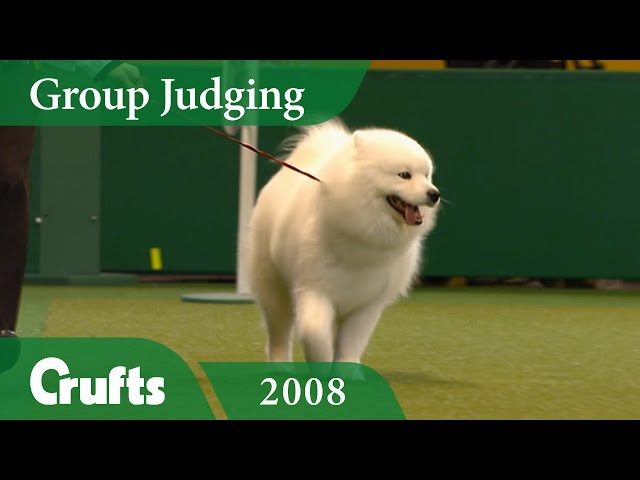 Samoyed win Pastoral Group Judging at Crufts 2008 | Crufts Classics