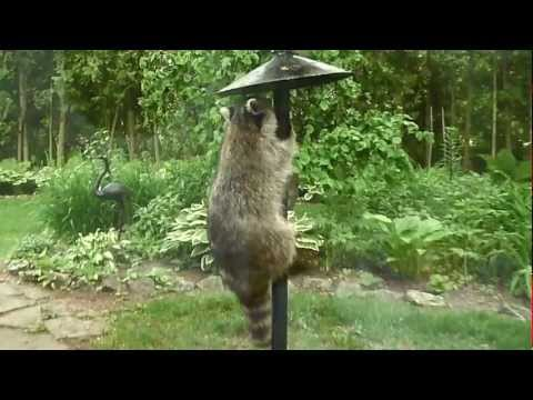 Raccoon on the bird feeder
