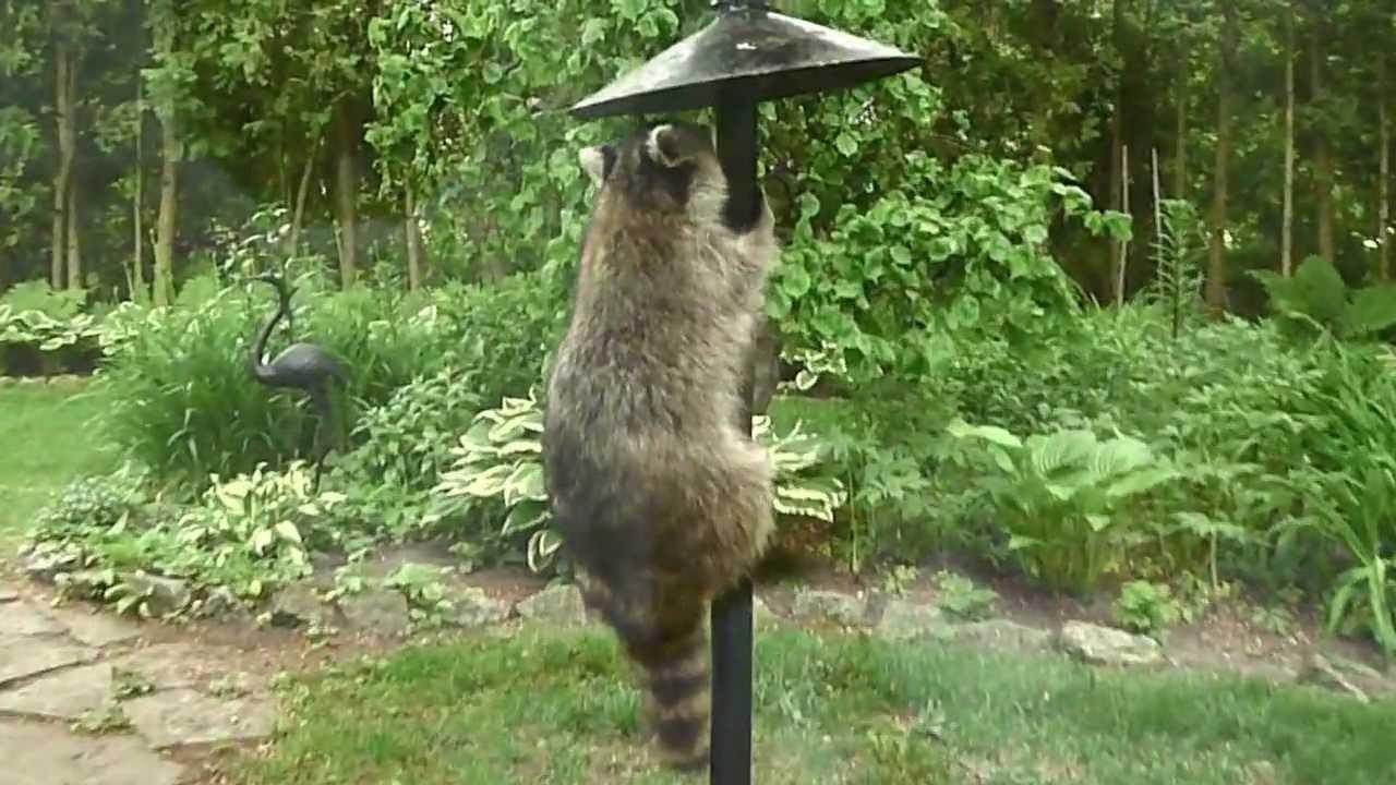 Charming Raccoon On The Bird Feeder   YouTube