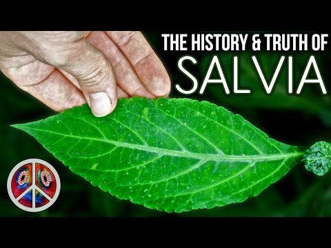 SALVIA | The History & Truth of Salvia Divinorum