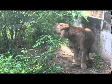 West African Magician Incites Lion to Roar (Porto Novo, Benin)
