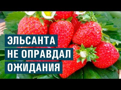 Сорт ЭЛЬСАНТА не оправдал ожидания (26-05-2018)