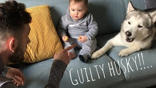 Guilty Husky Steals Baby Food But Learns His Lesson!!