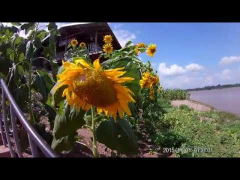 sunflowers on the banks of the Mekong River, Chiang Khan, Thailand