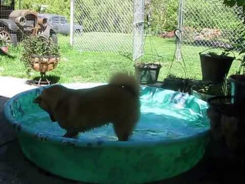 Mac the Finnish Spitz enjoying a little splash time